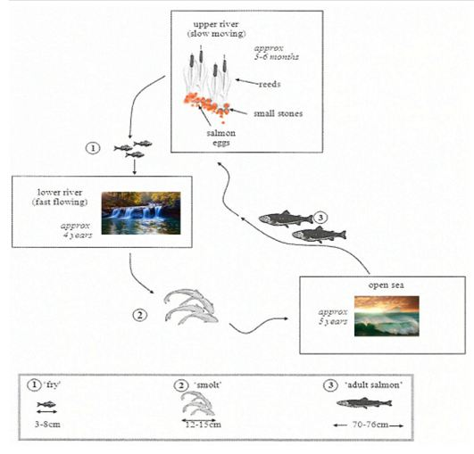 the diagram below shows the life cycle of a species of large fish called  the salmon